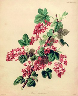 Red-flowering currant (1835) | by Swallowtail Garden Seeds