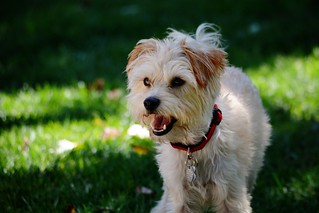 Excited Yorkshire Terrier Mix | by sonstroem