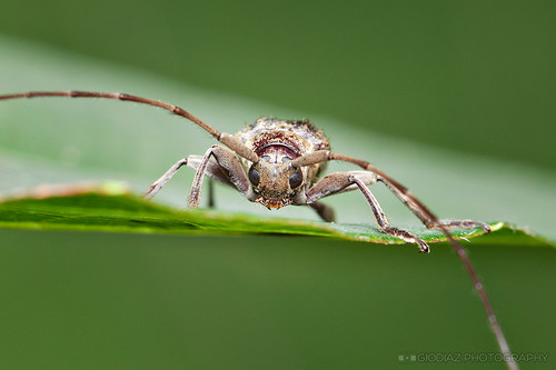 Face Off With A Long Horn Beetle | by giovzaid85