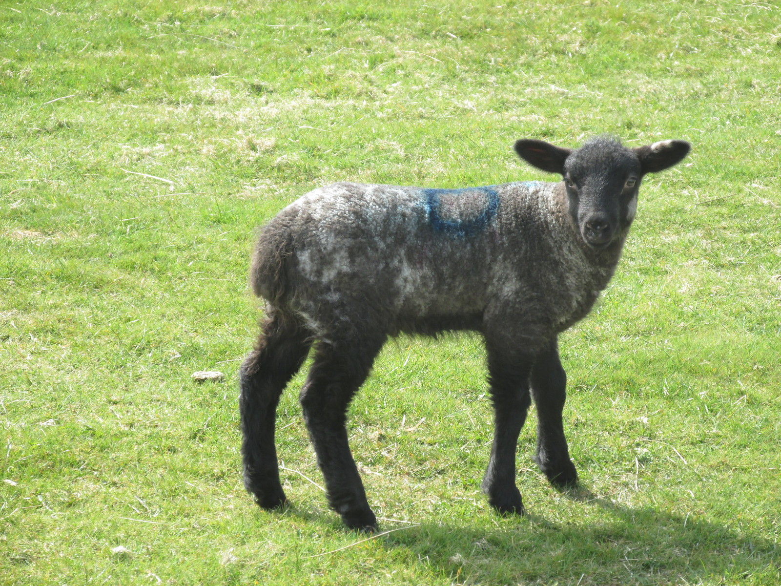 April 6, 2015: Glynde to Seaford Lamb on South Downs