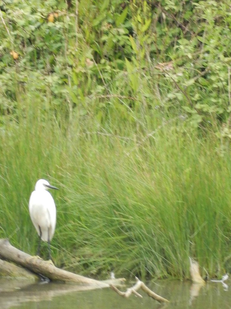 Little Egret Southbourne to Chichester
