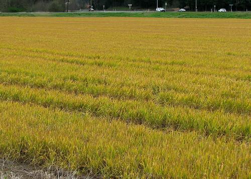 plant yellow rape crop oil brady acres canola