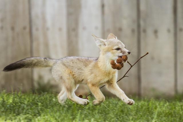 San Joaquin Kit Fox Pup Playing