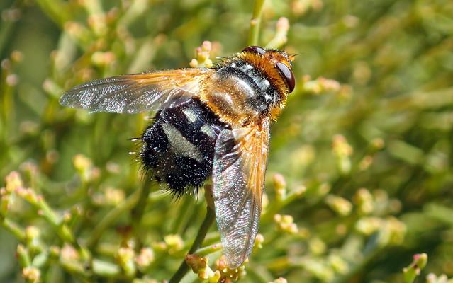 Tachinid Fly - Microtropesa sp.