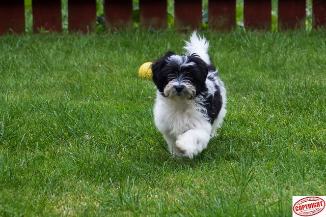 IMG_5594 Ella Maltipoo Puppy