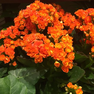 Kalanchoe — Photo Courtesy Carol Caggiano, AIFD, PFCI | by Flower Factor