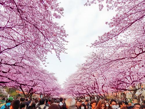 Hanami at Ueno Park 2013   by Dick Thomas Johnson