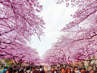 Hanami at Ueno Park 2013 | by Dick Thomas Johnson