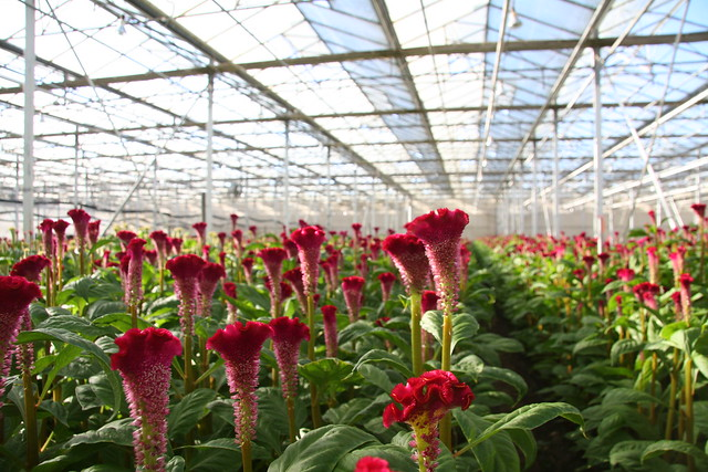 red celosia coxcomb flowers blooming in a greenhouse