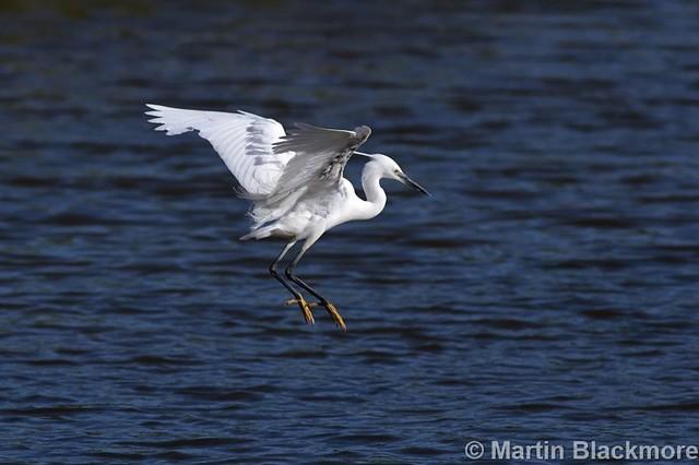 Little Egret Landing IMG_40251web