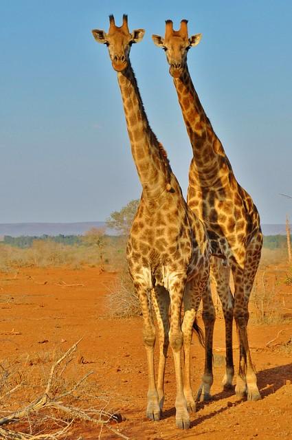 Twins (Kruger N.P.)