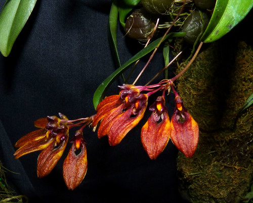 the 2015 pacific orchid exposition, Bulbophyllum andersonii species orchid