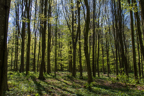 Spring in the Beech forest | by Infomastern