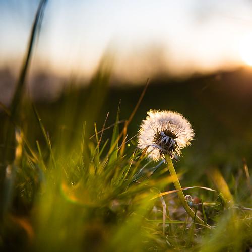 sunset france flower nature grass akène