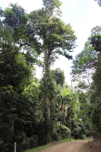 rainforest unidentifiedplant bulahdelah subtropicalrainforest tallowwoodforestpark