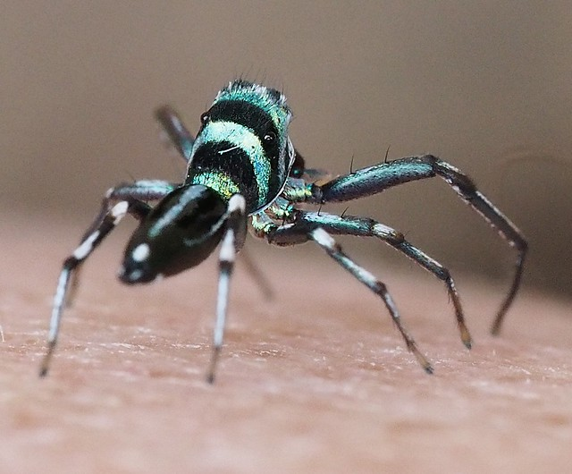 Banded Metallic Green Jumping Spider