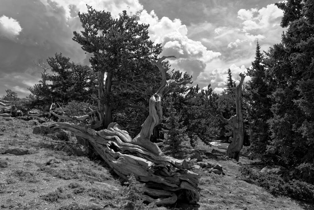 Mount Evans Bristle Cone Pines