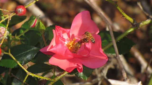 IMG_8914 honeybee on lady elsie may rose Goleta
