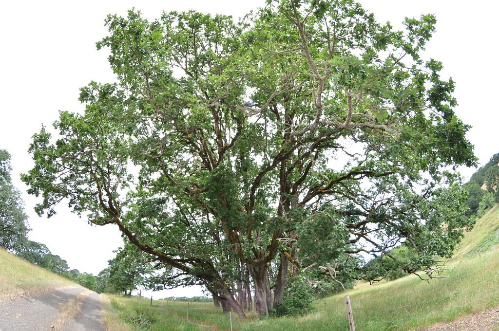 Yamhill County Rancher Restores Native Oregon White Oak Habitat