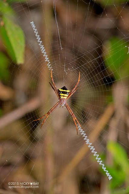 St Andrew's cross spider (Argiope reinwardti) - DSC_5584