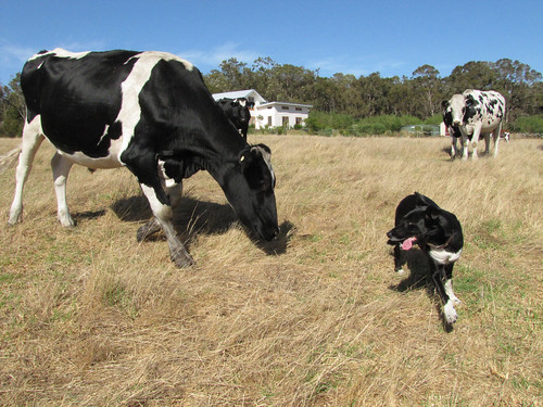 Herding Dog and Cattle V -  Red Moon Sanctuary, Redmond Western Australia