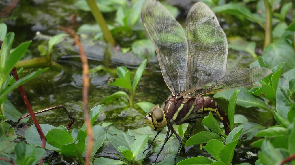 Female Blue-spotted Hawker