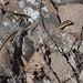 Flickr photo 'Eastern Garter Snake, Thamnophis sirtalis sirtalis (Linnaeus, 1758), in situ' by: Misenus1.