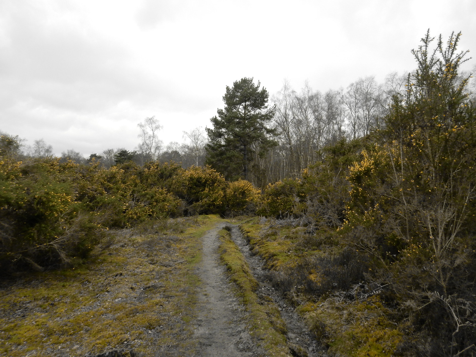 Gorse Gomshall to Guildford