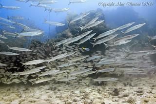 Chevron Barracudas and Ox-Eye Scad at Sail Rock, Koh Phangan, Thailand