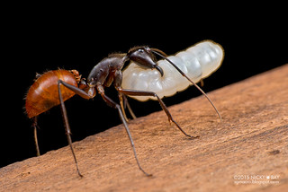 Giant forest ant (Dinomyrmex gigas) - DSC_7788