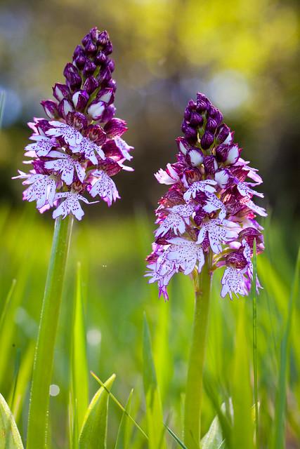 Orchidée purpurea