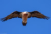Lammergeyer (Bearded Vulture) by Wild, Natural and Nomadic