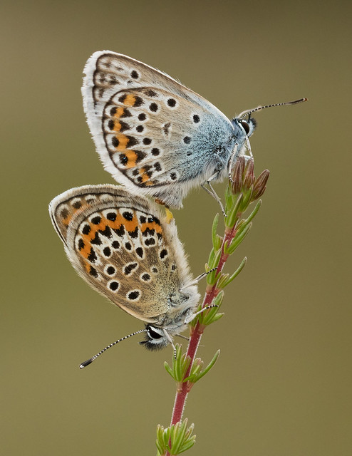 Silver-studded Blues - Plebejus argus