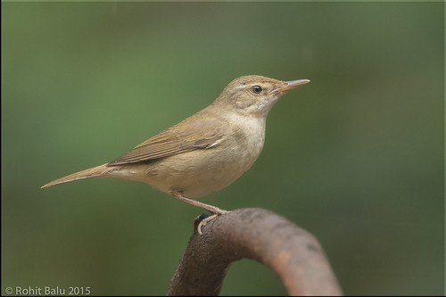 Blyth's reed warbler (Acrocephalus dumetorum) | by L@@k-Around