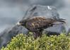Galapagos Hawk (endemic) by tickspics 
