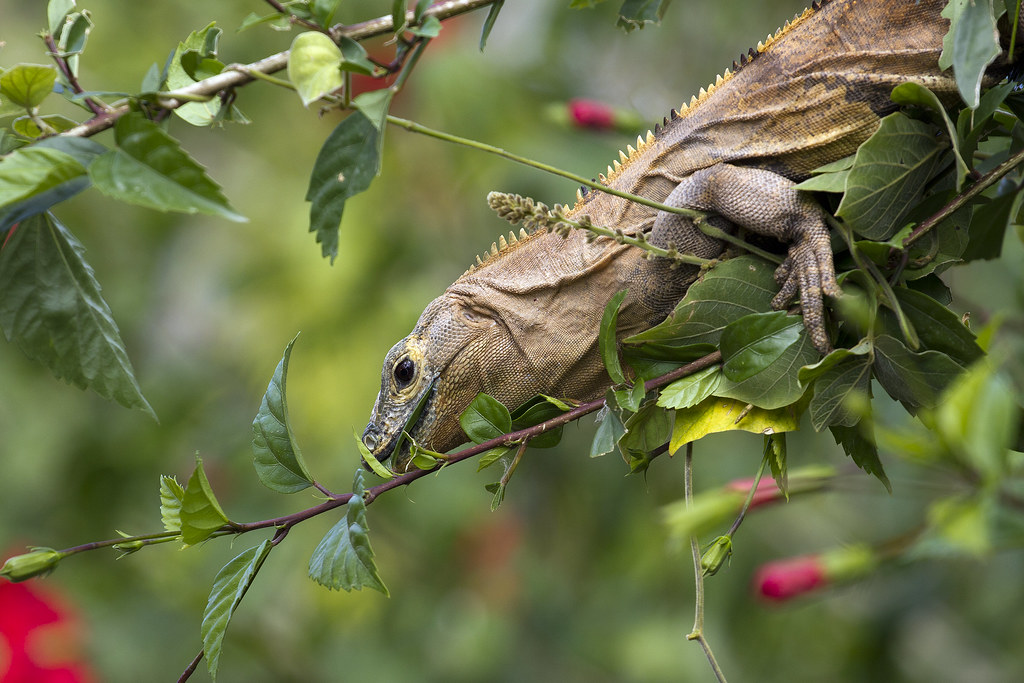 Iguana Eating Hibiscus Leaves Black Ctenosaur Also Known Flickr
