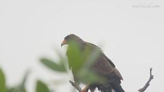 Cuban Black Hawk (Buteogallus gundlachii) in Las Salinas