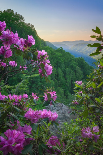 bridge pink flowers light sunset sky mountains green nature architecture forest outdoors us day purple unitedstates suspension westvirginia valley rhododendron bloom gorge blooms overlook rectangle appalachia fayetteville newriver rhododendrons catawbiense
