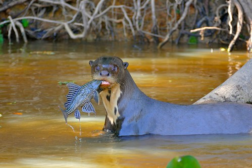 Giant Otter (Pteronura brasiliensis) with a Vermiculated Sailfin Catfish (Pterygoplichthys disjunctivus)