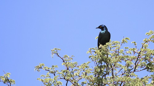 Cape Glossy Starling (Lamprotornis nitens) | by Laurent Esselen