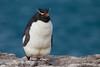 Pingüino de Penacho Amarillo by ik_kil