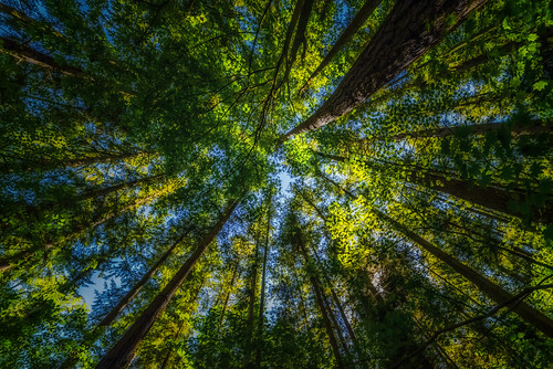 crescentpark surrey southsurrey forest wideangle lookingup samyang14mm28 nikond750 martinsmith ©martinsmith britishcolumbia canada ca maples