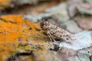 Planthopper (Achilidae) - DSC_4199
