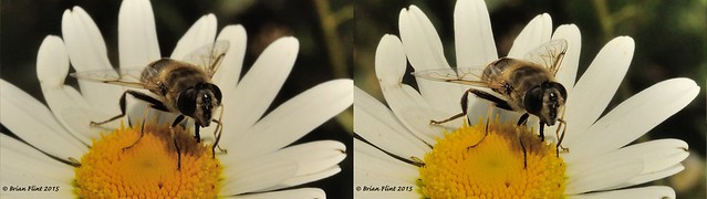 Hoverfly on Daisy - 3d cross-view