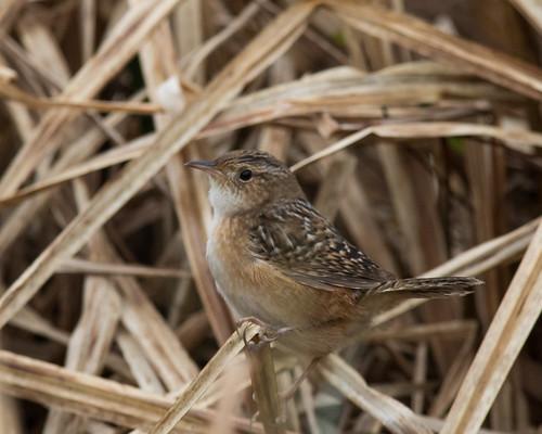 birds us unitedstates maryland places wrens frostburg allegany taxonomy sedgewren sewr finzelpond finzelswampfieldandpond