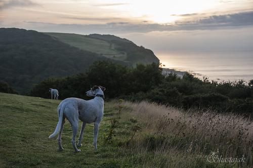 dog whippet bullterrier sighthound rehomed rescued saluki lurcher flori crossbreed easthill hastingscountrypark gazehound littledoglaughedstories sqlinthebackground