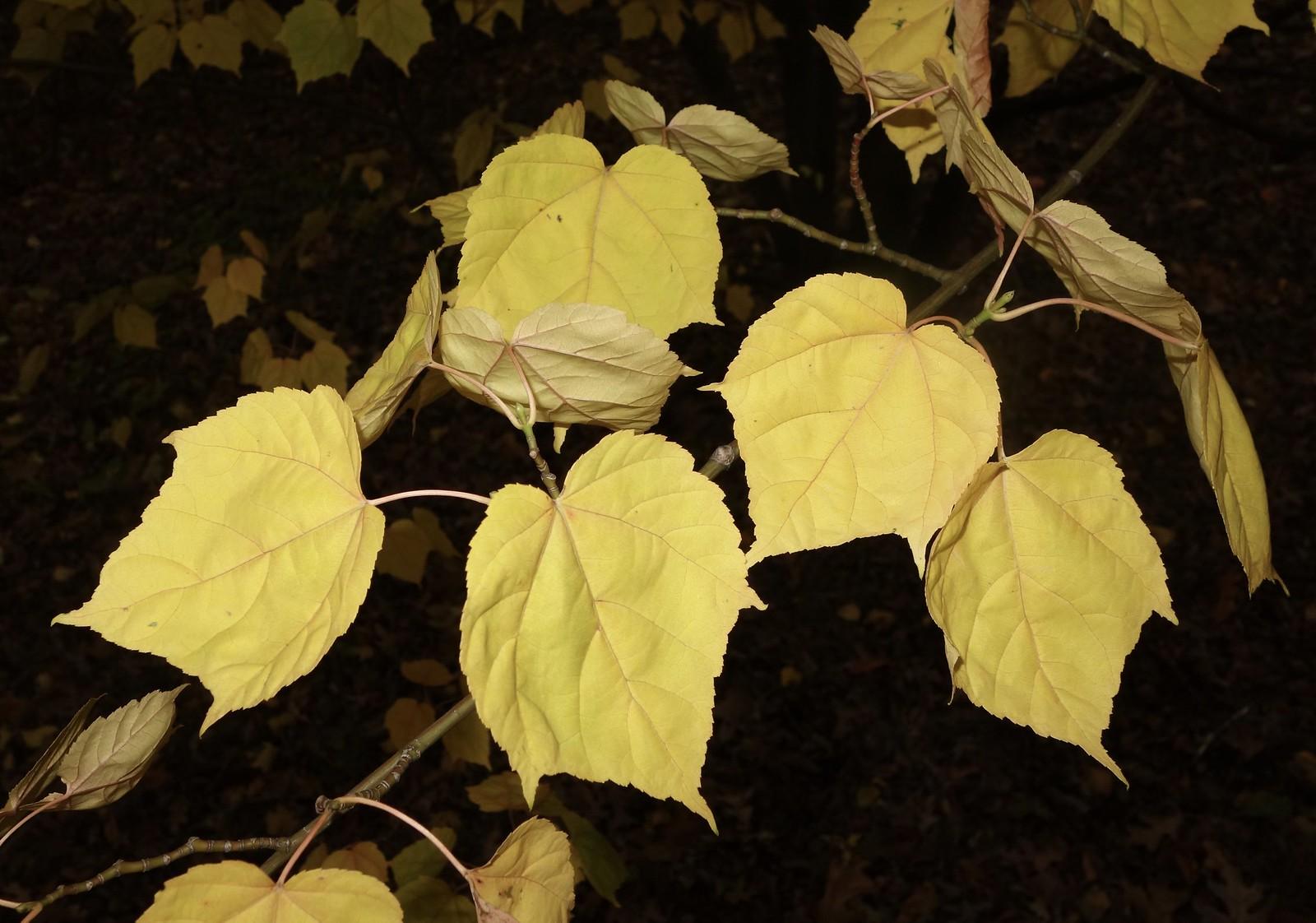 Acer davidii subsp.grosseri