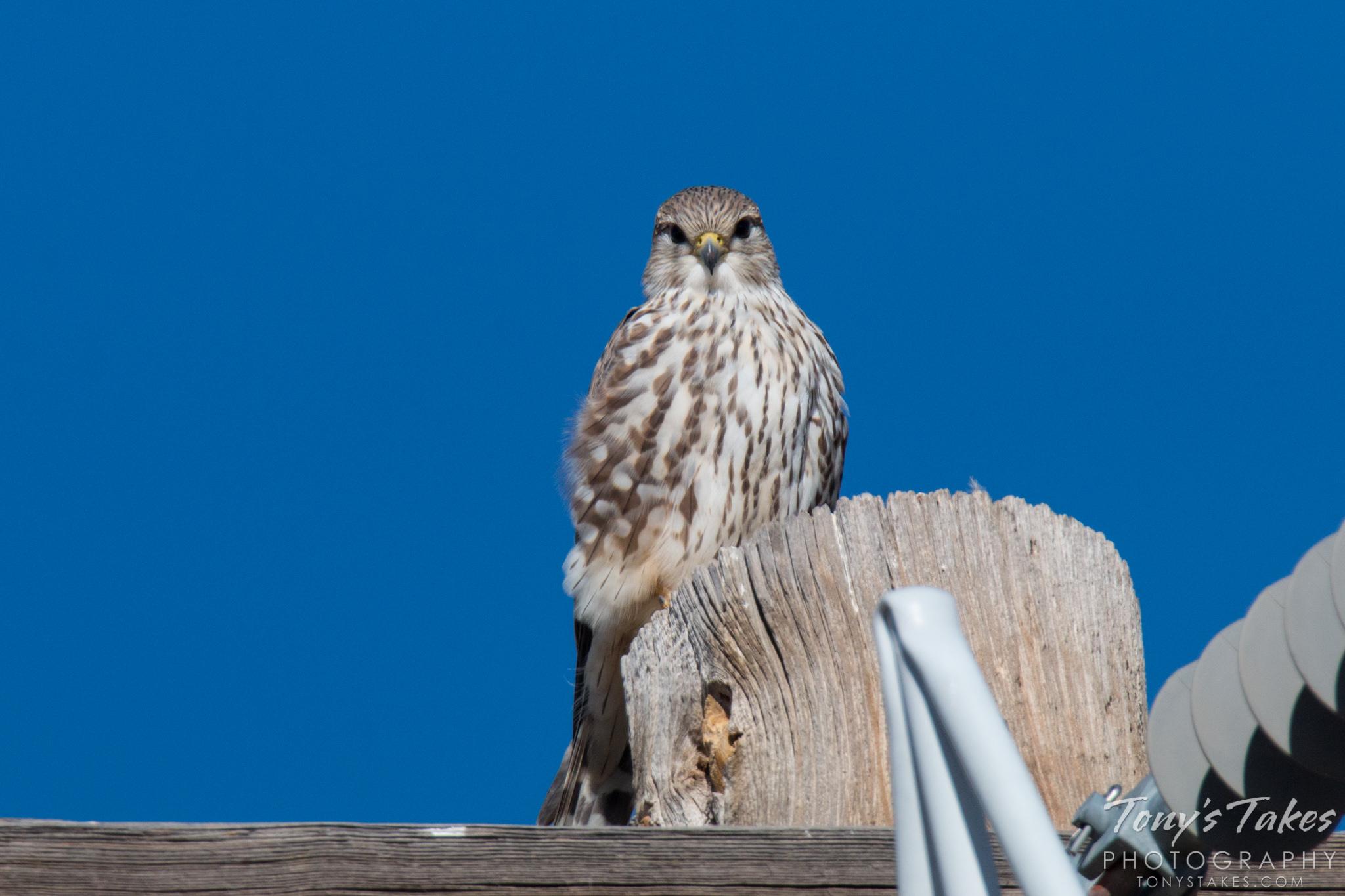 Fantastic little falcon