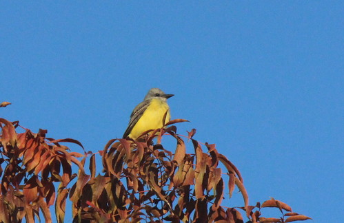 couchskingbird