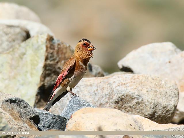 Crimson-winged Finch (Rhodopechys sanguineus)